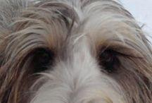 Grand Basset Griffon Vendeen • Bouvier des Flandres • Irish Wolfhounds / Bouvier des Flandres, Grand Basset Griffon Vendeen and Irish Wolfhounds  / by Jo Ruth