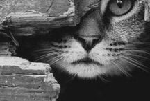 CHAT-OUILLES
