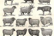 brebis , béliers et agneaux