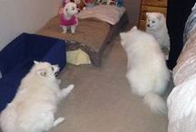 Our Japanese Spitz ... Zacky, Buffy, Kodi and our look-alike Kate / I Love our Japanese Spitz ... Zack, Buffy and Kodi ..... Also our Maltese Katie .... All rescue