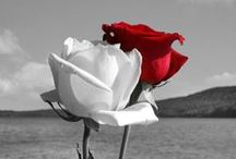 Gül & Rose