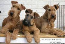 Irish Terrier addiction. / Fan club for teddy-bear pooches