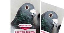 Pigeons Info & Care / Pigeons Versele-Laga