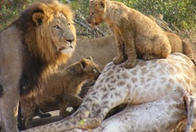 Askari Big cat sightings / Here at Askari we are lucky enough to enjoy sightings of lion, cheetah and even the elusive leopard every now and then!