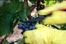 Benvenuta Vendemmia / Arriva l'autunno, cambiano i colori del cielo e della natura e, con questi, cambiano anche i profumi che portano con sé il rito antichissimo della vendemmia.  Attraverso alcuni momenti della raccolta dell'uva, vi racconteremo la tradizione contadina delle campagne pugliesi che si rinnova.