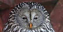 Owls / They are magnificent