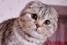 Cats Miauw, Me Want / Exotic/peaknose Shorthair, British Shorthair, Scottish Fold& any cuddly shorthairrrrr