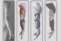 Limb anatomy