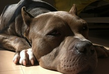 BB, my pit bull  / My rescued pitbull lovely bb chan xD