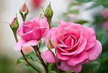 Rosas y más rosas / La vida debería ser un camino de rosas...