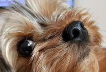 ~ Yorkie: The Cutest ~ / The cutest Yorkshire Terriers I could find. Adorable collection of yorkies from around the world!