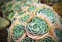 Succulent/Cactus