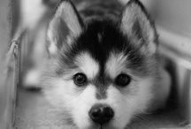 Huskey Puppies / by Patti Brown