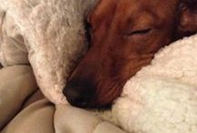 dachshunds rule my favorite dog  / by Gwyn Devenport