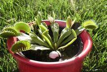 Dita on Tour / Dita ist unsere manchmal recht verfressene fleischfressende Pflanze, lebt seit Mitte Juni 2014 bei uns und begleitet und fast überall hin.  Mehr über sie gibt's auf vegan38.de