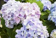 Hydrangeas / Here is a snapshot of some of the 20+ varieties of Hydrangeas that we grow, as well as some helpful tips on keeping them healthy and growing beautifully!