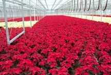 Poinsettias / Here is a snapshot of the Poinsettias that we grow here locally in Northeast Ohio.