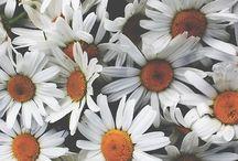 Daisys / Ulubione