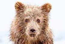 Bären / Polarbären, Schwarzbären, Grizzlys, Braunbären – all die und noch viel mehr gibt es bei einer Tierbeobachtungstour von SK Touristik zu sehen. Freunde der Riesen-Teddys werden auf dieser Pinnwand fündig – oder hier: http://www.sktouristik.de/Reisen/Tiere/Baerenbeobachtung/
