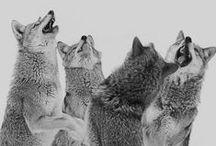 Wölfe / Optisch ganz nah an unserem Haushund, und trotzdem ein wildes Raubtier: Wölfe faszinieren uns seit Ewigkeiten und haben Eingang in zahllose Märchen und Mythen gefunden. Wer sich intensiver mit ihnen beschäftigen möchte, ist auf dieser Pinnwand richtig – oder bei einer der Tierbeobachtungen von SK Touristik in Kanada.