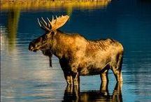 Elche, Hirsche, Rehe / Mit einer maximalen Schulterhöhe von 2,30 Metern und einem Gewicht von bis zu 800 Kilogramm ist der Elch die größte Hirschart der Welt. Freunde der tagaktiven Einzelgänger werden an dieser Pinnwand fündig – oder bei einer Elchbeobachtungstour in Kanada: http://www.sktouristik.de/Reisen/Tiere/Andere-Tierbeobachtungen/Elchbeobachtung-New-Brunswick.html