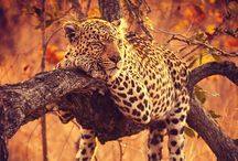Jaguar or Léopard