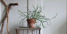 Firesticks - Euphorbia