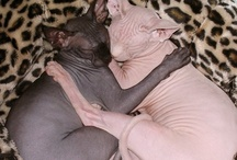 Sphynx Love / Because I LOVE Sphynxes. This is in preparation for the Crazy Sphynx Lady that I will become.