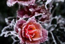 Des roses sous toutes les formes