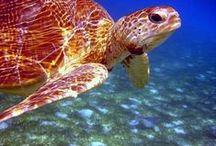 Sea Turtles ⬅❤ / Broasca Testoasa
