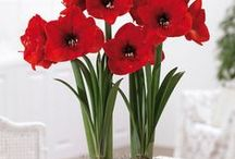 AMARYLLIS / Beautiful amaryllis flowers rise on tall, sturdy stalks and gracefully unfurl to greet the holidays in reds, whites, pinks, oranges, and even green. They are some of the easiest bulbs to force into bloom.