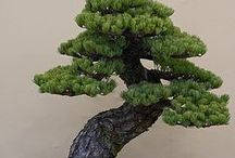 """~BONSAI~ / The word """"Bon-sai"""" is a Japanese term which, literally translated, means """"planted in a container"""". This art form is derived from an ancient Chinese horticultural practice. It has been around for well over a thousand years. The ultimate goal of growing a Bonsai is to create a miniaturized but realistic representation of nature."""