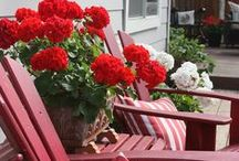 GERANIUM / Geraniums have been a gardener's favorite for well over a century. The old-fashioned standard for beds, borders, and containers, geranium is still one of the most popular plants today.