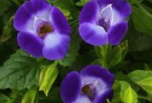 TORENIA / Torenia is a genus of plants now classified in the Linderniaceae. Often called Wishbone flowers,  are grown as garden plants. ManY Torenia hybrids have been hybridizied in the last 30 years. Colors can range from white with yellow throats to violet, blue, cobalt, lavender and purple.
