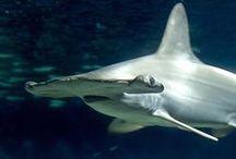 Animals Sharks / Various Sharks, love them!