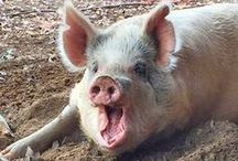 Farm Animals - Pigs