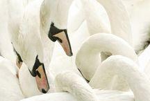 FUGLE / BIRDS