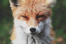 RÆV / FOX