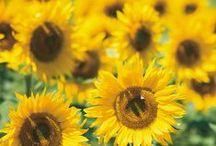 Flowers | Yellow / Flowers | Yellow