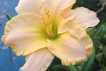 Daglelies (Daylilies) (Hemerocallis lilioasphodelus) / Different colours of daylilies found in my own garden and ones I like from the web