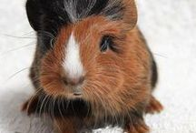 CUTE! guinea pigs