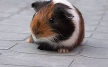 Guinea Pigs Forever