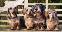 Dachshunds / Wirehaired, smooth, long, mini, standard, tweenies, black and tan, dapple, chocolate, brindle dachshunds .... they're all adorable doxies and very stubborn!