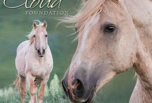 Cloud, Wild Stallion of the Pryor Mountains / The wild stallion Cloud is 19 years old this year, and has a beautiful family in the Pryor Mountains of Montana