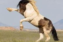 Warbonnet, Wild stallion of McCullough Peaks, WY