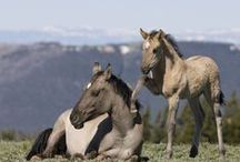 Wild Horses of the Pryor Mountains, Montana / This very special herd is home to the famous wild stallion Cloud and has been genetically tested and found to have very pure Spanish blood