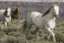 Wild Hoofbeats Wild Horse Blog Posts / Wild Hoofbeats blog is dedicated to education and news regarding America's wild horses, and keeping our wild horses wild and free on our public lands.