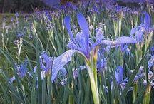 Flowers / Doğada çekilen bitkiler ve türlerini içerir.