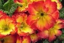 POLYANTHUS / Polyanthus Colours