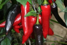 CHILI PEPPERS / Chili Peppers Varieties